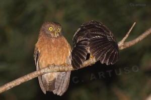 Cebu Hawk Owl