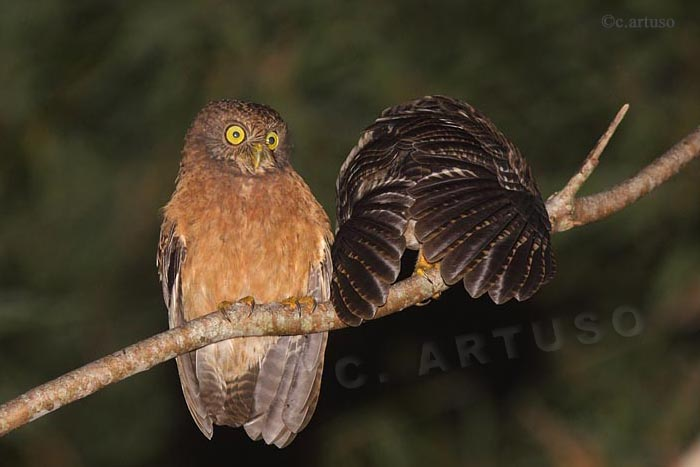 New owl species discovered in the Philippines
