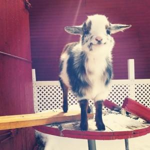 A cute goat